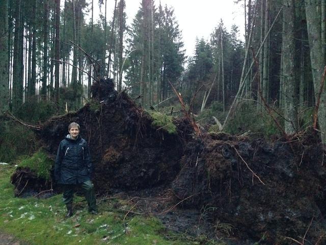 Der er faldet en del træer inklusiv rod med klump.